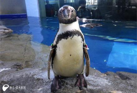 フンボルトペンギン「コンペイ」